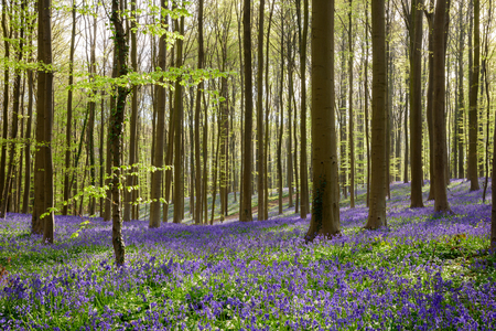bluebell woods: (2) The Blue Forest Hallerbos in Brussels, Belgium during spring. Blue wild flowers and beech trees. Stock Photo