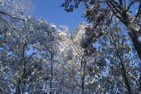 Snowy Treetops Stok Fotoğraf