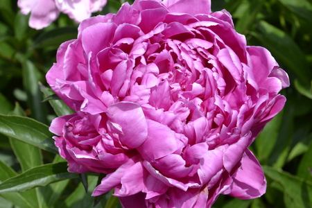 magnificence: The beauty of a spring time rose, with its deep pink, almost violet  color in the Wake Forest gardens in NC Stock Photo
