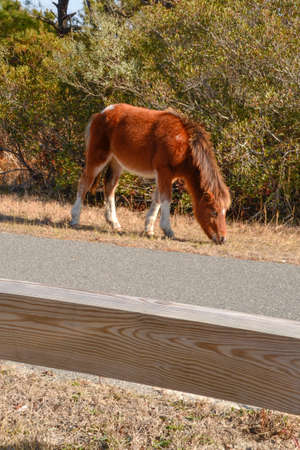 Wild brown pony with dark brown mane grazes along the road at Assateague Island National Seashore in Maryland 版權商用圖片