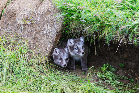 two young playful arctic fox cub in front of their lair Stock Photo