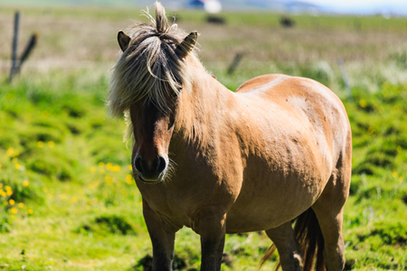 Brown Icelandic horse on a green field in summer