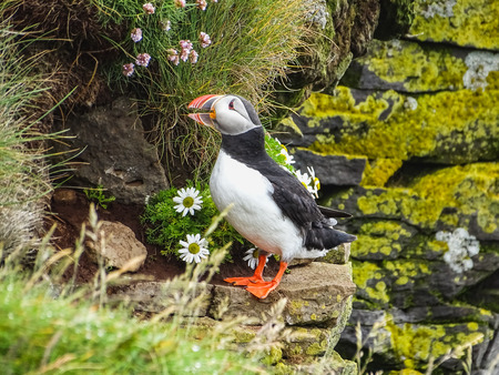 Puffin on the rocks at latrabjarg iceland on a sunny day Stock Photo