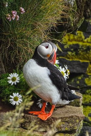 Puffin on the rocks at latrabjarg iceland on a sunny day 写真素材