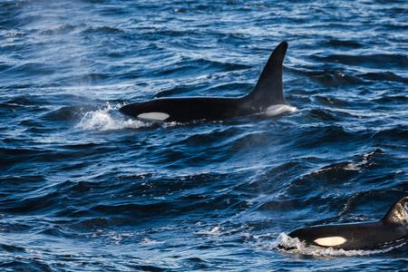 Orcas pilot whales taken at the atlantic near andenes lofoten norway Stock Photo