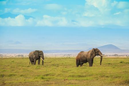Afrikaanse olifanten op masai mara Kenia Afrika