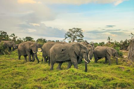 African elephants with baby on the masai mara kenya africa