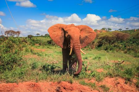 Lphant africaine sur le masai mara afrique du sud Banque d'images - 97478803