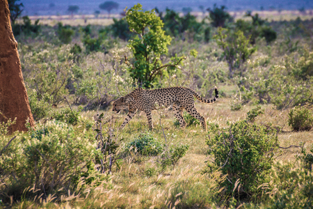 Adult cheetah walking into tall grasses masai mara national reserve kenya