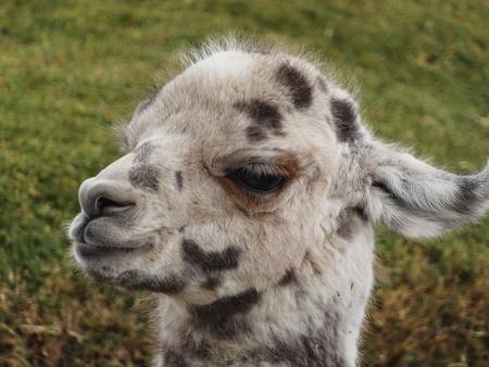Alpacas on the altiplano bolivia south america eat grass