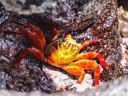 sally lightfoot crab sitting on stones on galapagos islands ecuador