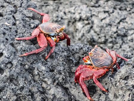 two sally lightfoot crabs sitting on stones on galapagos islands ecuador