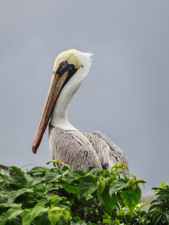 white pelican closeup sitting on an wall in  city