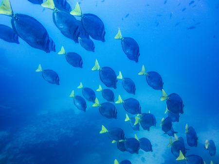 School of yellow tailed surgeonfish prionurus laticlavius off the coast of galapagos islands ecuador Reklamní fotografie