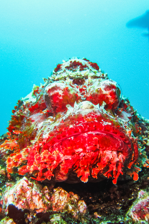 Scorpionfish on a coral reef in the caribbean sea galapagos islands ecuador