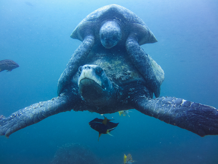 two Marine turtle mating underwater in galapagos islands ecuador