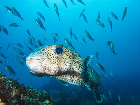 White spotted puffer arothron hispidus marine fish Galapagos Islands ecuador