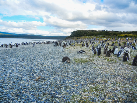 The magellanic penguins on the islands of tierra del fuego patagonia argentina