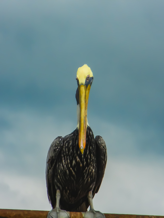 Brown pelican closeup sitting on an wall in panama city
