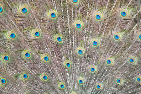 Closeup of vibrant wild indian blue peafowl with open feather