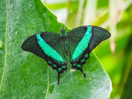 Closeup of a papilio palinurus, the emerald swallowtail papiliorama