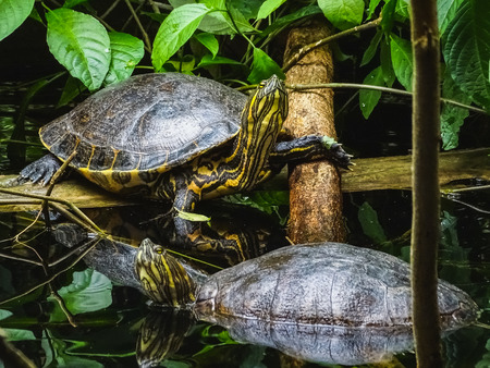 Closeup of two trachemys scripta yellow slider turtles at water papiliorama