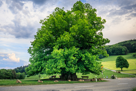 Amazing old linden tree under spectacular sky in linn aargau hdr switzerland