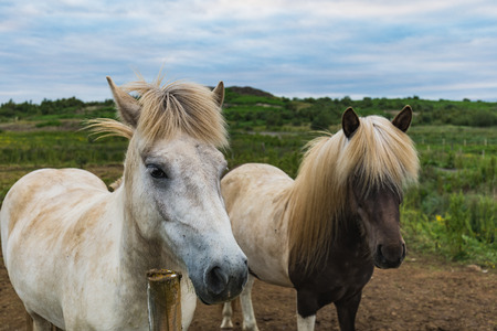 Icelandic horses on a green field in summer iceland