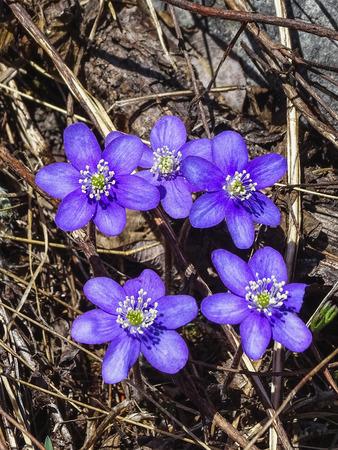 Close up of blue flower Hepatica nobilis or liverleaf switzerland