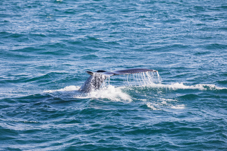 Big Humpback whale diving and showing his tail near husavik on iceland