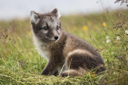 Close up van een jonge speelse poolvos cub in de zomer op IJsland