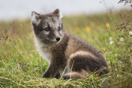 Close up of a young playful arctic fox cub in summer on iceland
