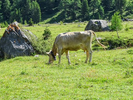 Swiss cows on high mountain route through the Gemmi Pass in Switzerland, Europe