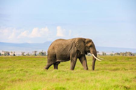 African elephant on the masai mara kenya africa Foto de archivo