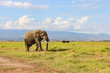 African elephant on the masai mara kenya africa 版權商用圖片