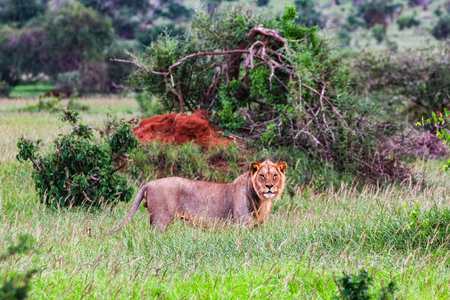 African lioness on the masai mara kenya africa