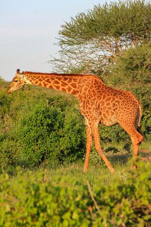 African giraffe on the masai mara kenya africa Zdjęcie Seryjne