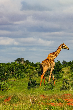 African giraffe on the masai mara kenya africa Foto de archivo