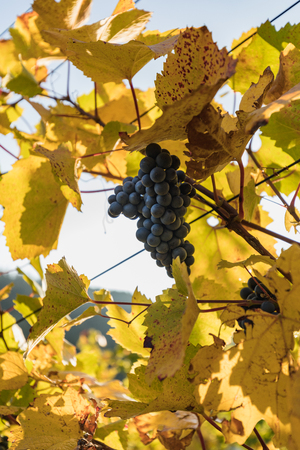 close up of blue Vine of grapes and colorful autumn leaves under the sun switzerland