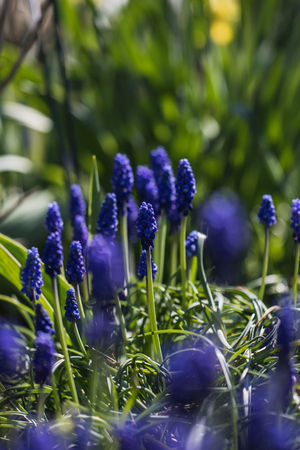 macro shot of blue muscari flower in a garden in germany