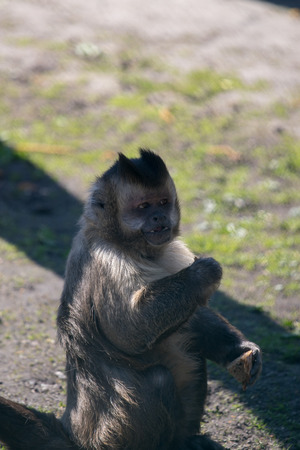 portrait of capuchin monkey eating in the sun, germany