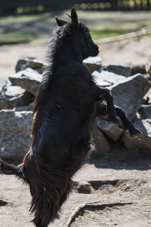 two young black goats fighting each other, germany Stock Photo
