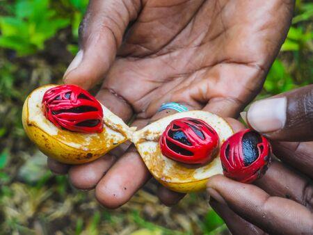 farmers hand presenting a fresh nutmeg fruit cut in half displaying the mace and nut in zanzibar