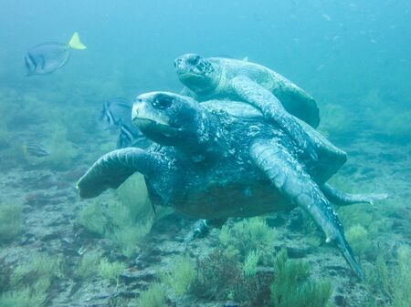 two Marine turtle mating underwater in galapagos islands, ecuador
