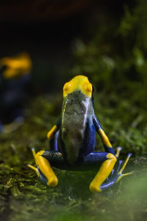 Detailed macro shot of a colorful poison dart frog in a terrarium, animal Stock Photo - 128611657