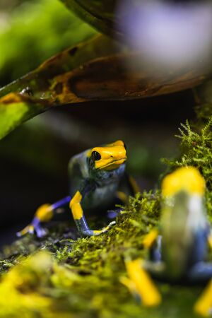 Detailed macro shot of a colorful poison dart frog in a terrarium, animal Stock Photo - 128611664