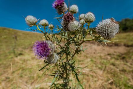 macro of a thistle flower on weissenstein mountain in switzerland, solothurn Stock Photo - 128611692