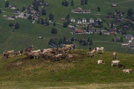 cows on a farm between the beautiful swiss alps near toggenburg, summer Stock Photo - 128611611