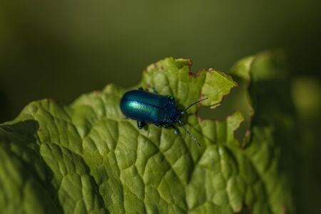 Detailed macro shot of an blue beetle, resting on a flower, summer Stock Photo - 128611616