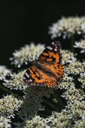 Detailed macro shot of an orange butterfly, resting on a flower, summer Stock Photo - 128611617